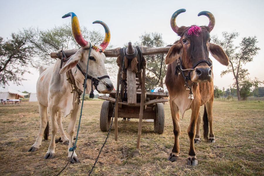 India Indian Tourist Attraction  Travel Animal Animal Themes Cart Cattle Cow Cows Domestic Animals Indian Cow Livestock Mode Of Transport Mode Of Transportation No People Outdoors Ox  Ox Cart Oxen Pulling A Cart Rajasthan Standing Two Two Cows The Traveler - 2018 EyeEm Awards