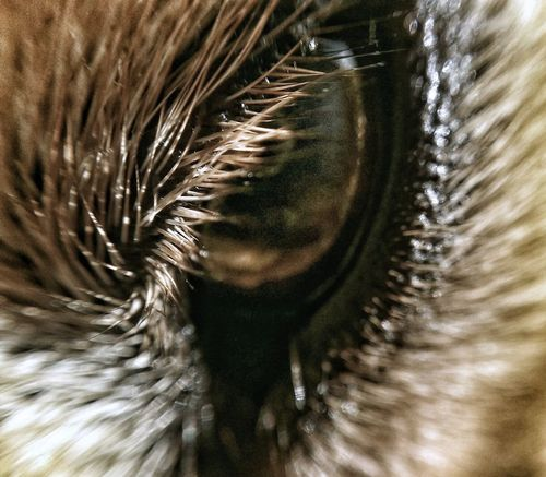 AntiM Dogs Of EyeEm Eyelashes Dog Animal Themes Backgrounds Close-up Day Dog Eye Eyeball Eyelash Eyelashes Eyesight Full Frame Indoors  Iris - Eye Macro Mammal My Dogs Are Cooler Than Your Kids Nature No People One Animal Sensory Perception Pet Portraits