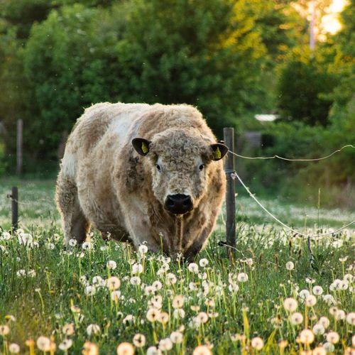 Grass Field Cow Summer Sunset Dandelions EyeEm Selects Field Grass Farm Animal Grassland Grass Area
