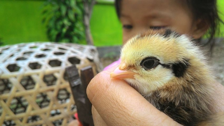 Cute Hello World OpenEdit Enjoying Life Babychicken
