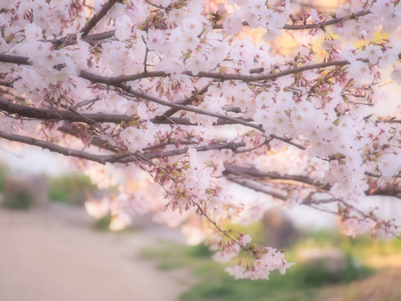 flower, blossom, tree, springtime, cherry blossom, fragility, cherry tree, beauty in nature, freshness, branch, growth, apple blossom, nature, apple tree, orchard, pink color, botany, selective focus, day, white color, no people, outdoors, close-up, flower head