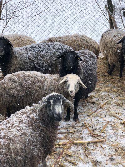 Sheep Animal