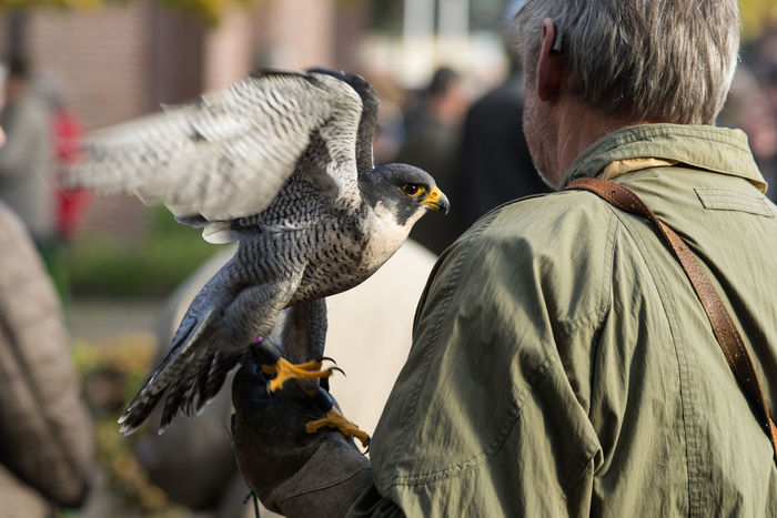 Peregrine Falcon sitting on the glove of his owner the hunter Beak Falcon Falconry Hunter Wing Animal Themes Animal Wildlife Animals In The Wild Bird Bird Of Prey Close-up Day Falconer Fastest  Feather  Glove Hand Hunting Nature One Animal Outdoors Peregrine Falcon Predator Spread Wings