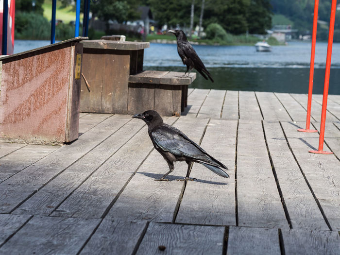 Raven Animal Animal Themes Animal Wildlife Animal Wings Animals In The Wild Bird Birds Black Black Bird Black Birds Corbus Corax Corvidae Corvus Day Feather  Group Of Animals Landing Stage Nature No People Outdoors Raven Bird Water Wings Wood - Material