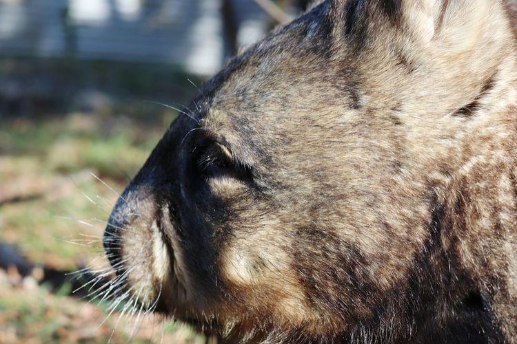 Wombat  Rescued Australia Australian Wildlife Nocturnal EyeEm Selects Pets Portrait Whisker Close-up Animal Nose Animal Eye Snout Animal Head  Nose Animal Hair Animal Mouth Animal Face Animal Body Part