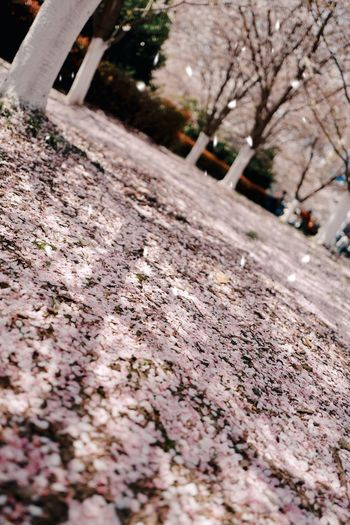 桜-2 🌸