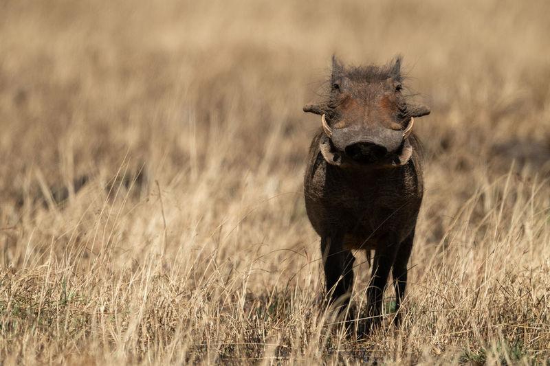 Portrait of warthog standing on land