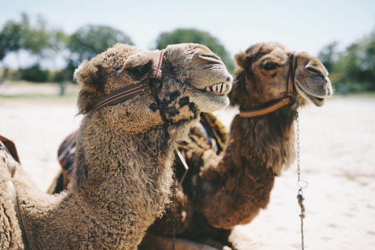 Close-Up Of Camels During Sunny Day