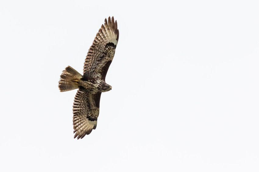 Buteo Buteo Leefdal Animal Wildlife Animals In The Wild Bird Bird Of Prey Buse Common Buzzard Flying Poiana Spread Wings