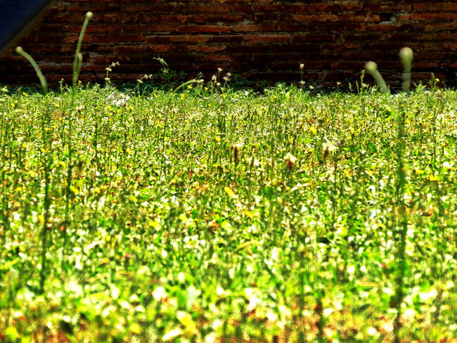 Prato Erba Flower Plant Grass Growth Field Green Color Nature Day Sunlight Selective Focus Beauty In Nature No People Outdoors Tranquility Flowering Plant