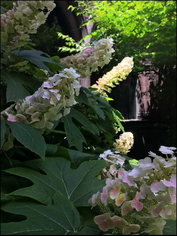 Oak leaf Hydrangeas @ 1st Presbyterian Church built in 1716 - 6/31/16 As I Sees It Beauty In Nature Focus On Foreground Fresh On Market July 2016 Historical Church IPhone Creative Edits W/ Snapseed