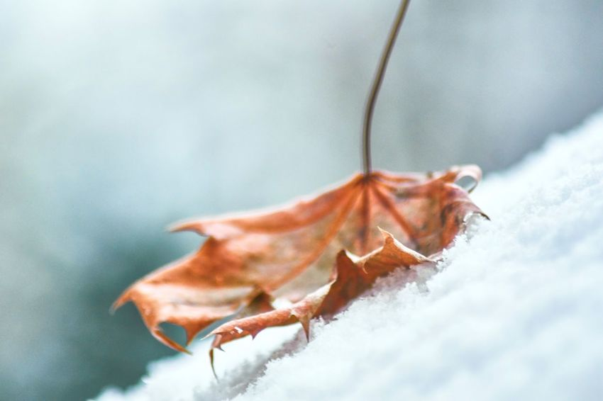 Fall while first snow Autumn Winter Fall Fall Colors Wanderlust Snow Close-up Day Nature No People Outdoors Beauty In Nature EyeEm Ready