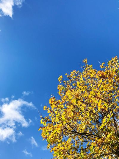 Low angle view of yellow flower tree against blue sky