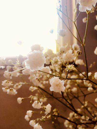 Sunshine Warmth Softness Flower Throughmyeyes IPhoneography Babys Breath Sunlight Close-up Beauty In Nature Springtime
