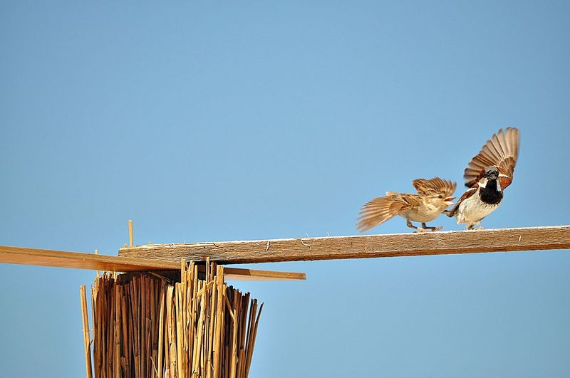 Low angle view of birds on plank against clear blue sky
