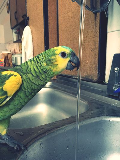 Drinks water from the tap?? Blue Bluefrontedamazon Amazonparrot Parrot Check This Out Animals Cute Pets Pets Pet Photography  Singapore