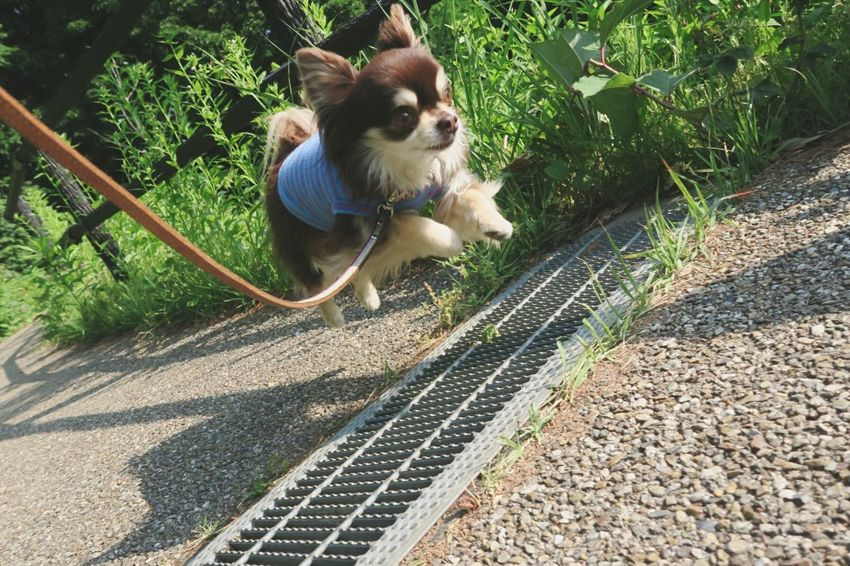 Dog Dog Jumping Chihuahua Chihuahualovers チワワ