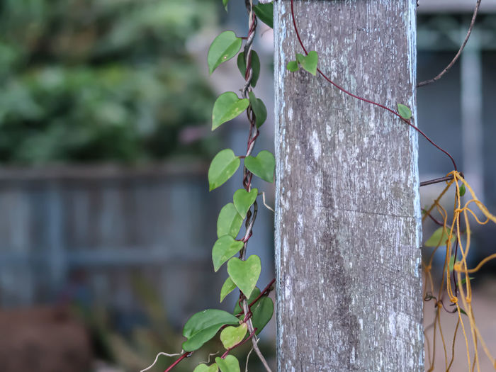 Close-up of ivy growing on tree trunk