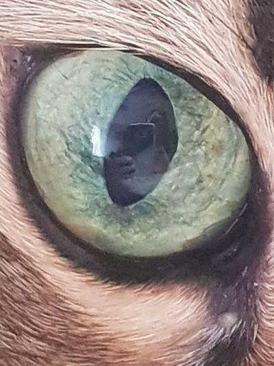 Cat Love Samur  Eyes Eyeball Eyelash Eyesight Iris - Eye Sensory Perception Close-up