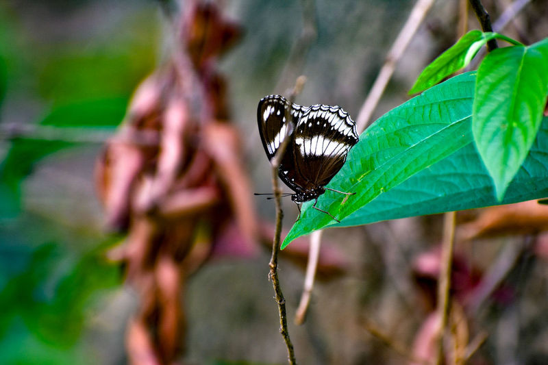 A butterfly sittings on a Leaf First Eyeem Photo 875705 79093 5620745 11495724 One Animal 11488866 Animal Plant Part Leaf Close-up Plant Day Animal Wing Focus On Foreground Nature Green Color Beauty In Nature No People Growth Outdoors Butterfly - Insect Butterfly EyeEmNewHere