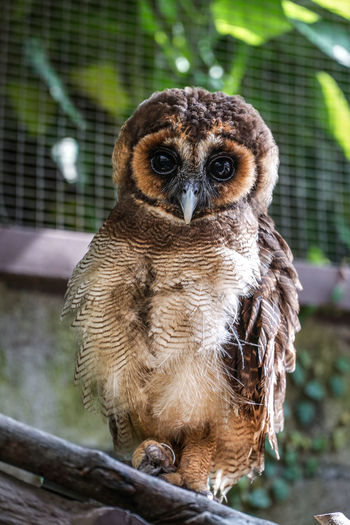 Brown Wood Owl (Strix leptogrammica), a shy and nocturnal bird Animal Themes Animal Wildlife Animals In The Wild Bird Bird Of Prey Close-up Cute Day Focus On Foreground Looking At Camera Mammal Nature No People Nocturnal One Animal Outdoors Owl Perching Portrait