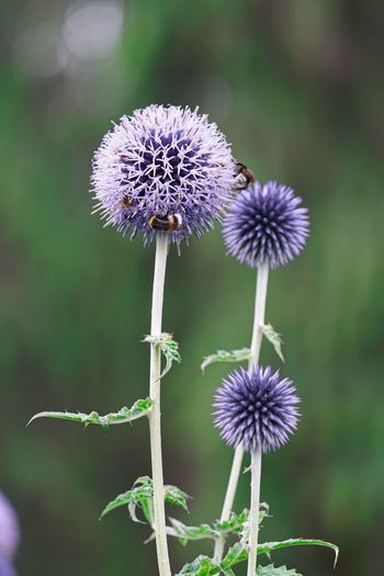 Thistle Flower Thistle Flower Flowering Plant Plant Freshness Fragility Vulnerability  Beauty In Nature Growth Focus On Foreground Close-up Flower Head Inflorescence Purple Nature Petal No People Plant Stem Selective Focus Day Thistle Flowering Plant Plant Freshness Growth Outdoors Nature