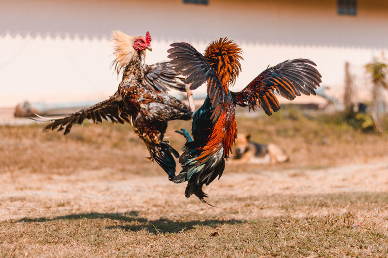 Roosters fighting on grass