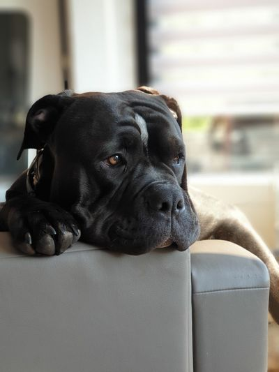 Pets Portrait Dog Looking At Camera Sofa Close-up British Culture Springtime Decadence