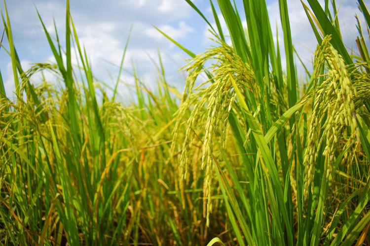 Close up of Rice Field, Paddy Rice Field. Paddy Field Cereal Plant Rural Scene Palm Tree Agriculture Wheat Field Rice Paddy Sky Close-up Grass Ear Of Wheat Grain Plantation Barley Cultivated Land Combine Harvester Terraced Field Wiltshire Rye - Grain Farmland Rice - Cereal Plant Crop  Tea Crop Vineyard Agricultural Field Countryside Palm Leaf Blade Of Grass First Eyeem Photo