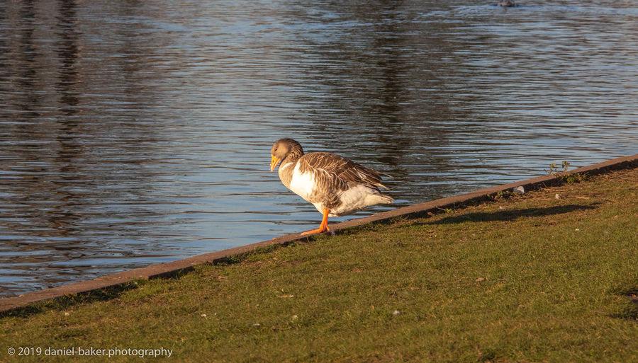 Water Bird One Animal Animal Outdoors Lakeshore River Animal Wildlife Rippled