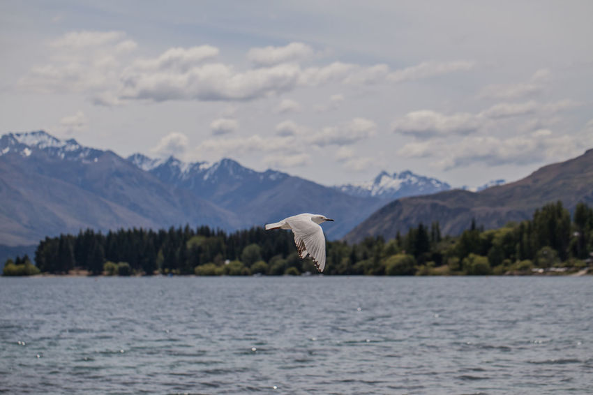 Animal Themes Animal Wildlife Animals In The Wild Beauty In Nature Bird Day Lake Mountain Mountain Range Nature No People One Animal Outdoors Scenics Sky Spread Wings Swan Wanaka Wanaka New Zealand Wanaka Tree Wanakalake Water Waterfront