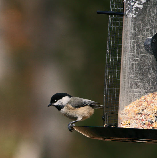 Tiny Feet Animal Themes Animal Wildlife Animals In The Wild Bird Bird Feeder Chicadee Close-up Day Food Food And Drink Nature No People One Animal Outdoors Perching