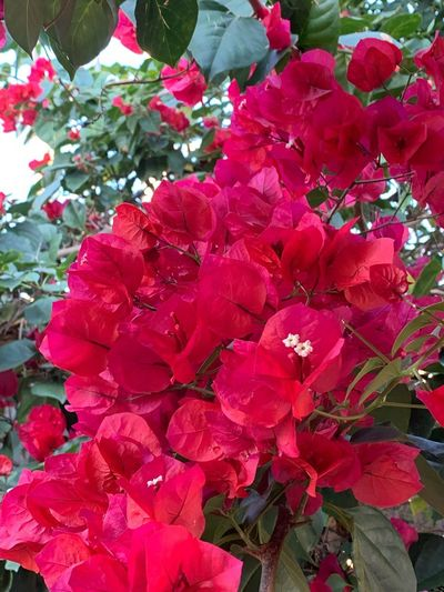 Flowering Plant Flower Plant Freshness Beauty In Nature Growth Vulnerability  Flower Head Bougainvillea Inflorescence No People Pink Color Nature Day Fragility Petal Close-up Red Springtime Blossom