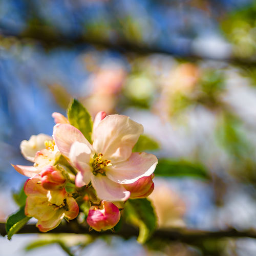 apple blossom Apple Blossom Apple Tree Beauty In Nature Blooming Blossom Bokeh Bokeh Photography Branch Close-up Day Flower Flower Head Fragility Freshness Growth Nature No People Outdoors Petal Springtime Tree