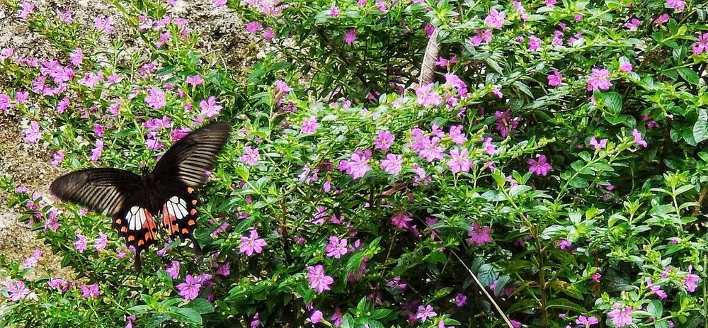 The Great Outdoors - 2016 EyeEm Awards Redbutterfly Butterfly ❤ Insect Photography Red Helen Flying Hovering In And Out Purple Flowers Beauty In Nature Butterfly Collection The Essence Of Summer