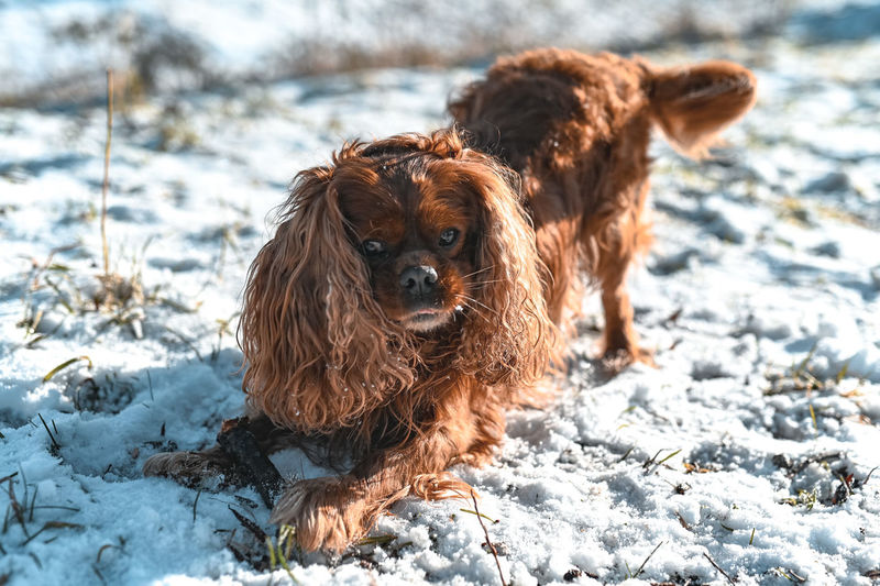 Brown dog in snow