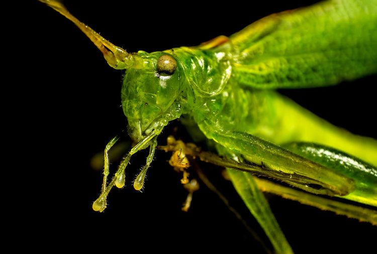Animal Themes Animal Wildlife Animals In The Wild Black Background Close-up Grasshopper Green Color Insect Nature Night No People One Animal Outdoors