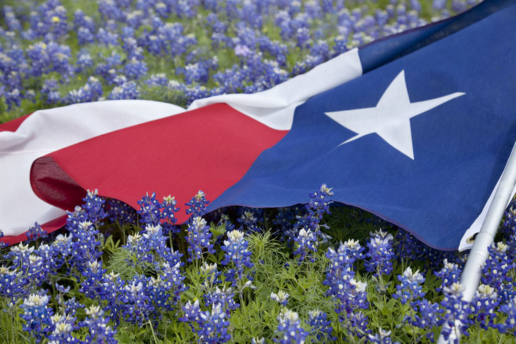 Texas flag in a field of Bluebonnets Beauty In Nature Blue Close-up Day Field Flower Freshness High Angle View Nature Texas Flag bluebonnets Outdoors Plant White Color
