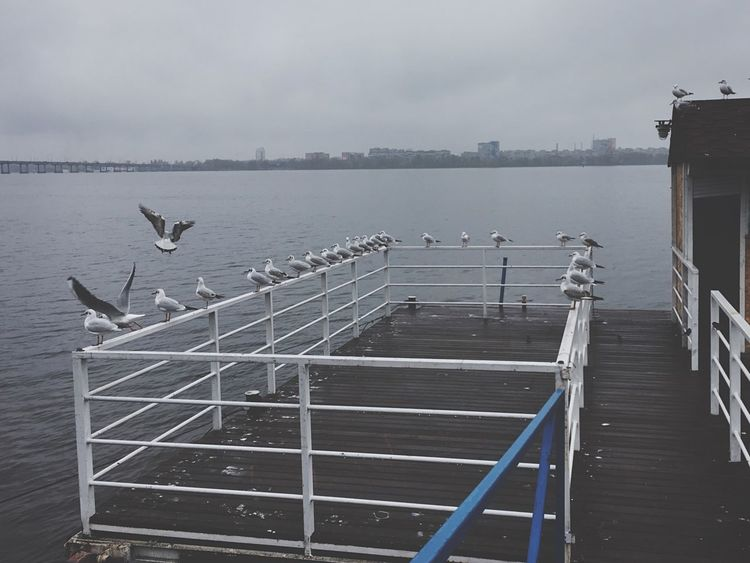 Dnipro River Gull