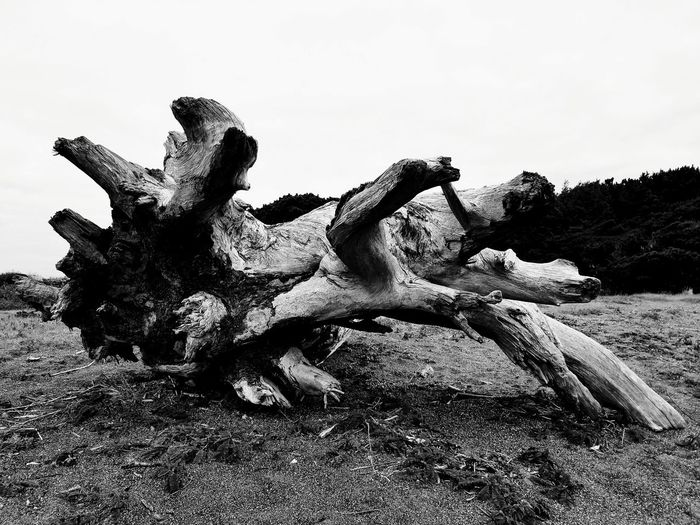 Driftwood Drift Wood On Beach Driftwood Art Pacific Northwest  Beauty In Nature Oregons Beauty Travel Oregon  Oregon Oregon Beaches Pacific Ocean Black And White Friday