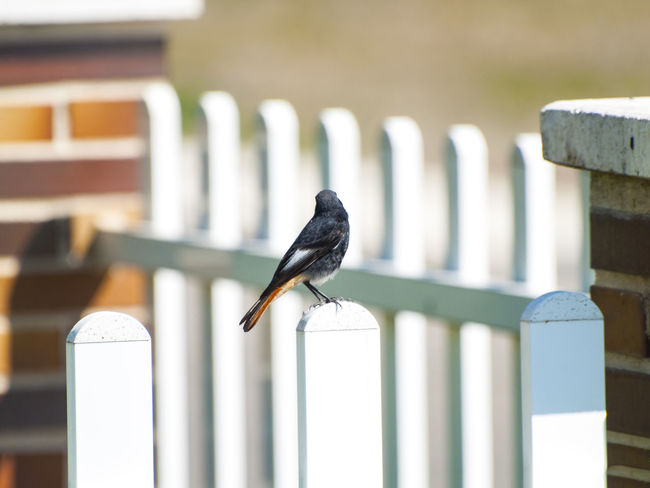 Adapted To The City Animal Themes Animal Wildlife Animals In The Wild Bird Birds Black Redstart Cityscape Close-up Day Focus On Foreground Male Male Bird Nature No People One Animal Outdoors Perching Phoenicurus Phoenicurus Ochruros Redstart Urban Birds Urban Lifestyle Wildlife