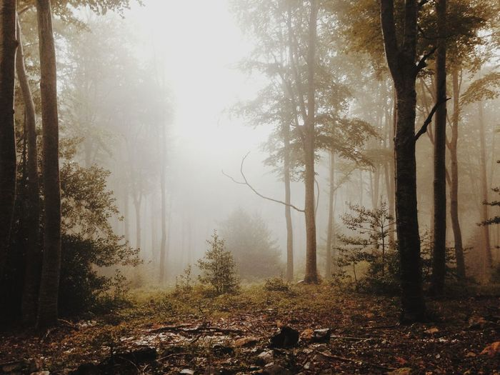 EyeEmNewHere Wood Tree Forest Fog Winter Cold Temperature Autumn Branch Spooky Pinaceae Foggy Atmospheric Mood Weather