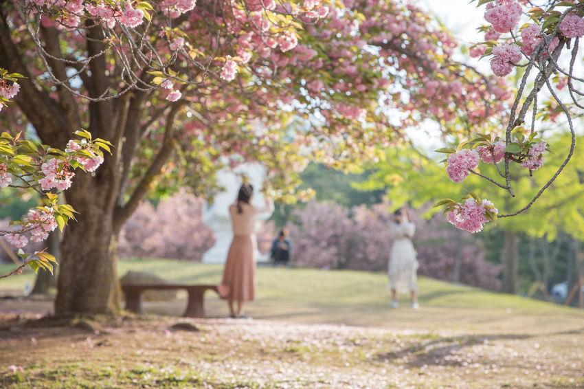 경주 불국사의 꽃동산 Korea Gyeongju Flower Tree Springtime Women Grass Cherry Blossom Cherry Tree Orchard Apple Tree Flower Head Blossom Pollen Twig
