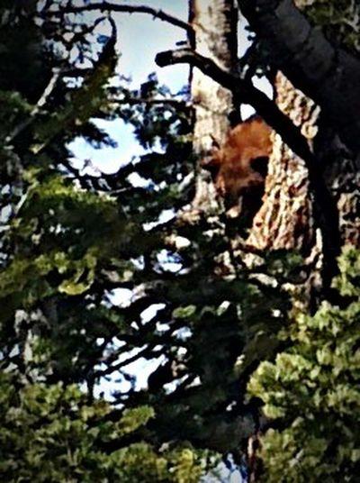 Bear Sunning in Tree Bear Bear In A Tree Tree Nature Truckee Lake Tahoe California Truckee, Ca Northstar Truckee  IPhoneography Iphonephotography