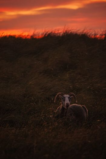 Light it up Sunset One Animal Animal Themes Mammal Domestic Animals Nature Field Grass No People Sky Outdoors Beauty In Nature Landscape Animals In The Wild Livestock