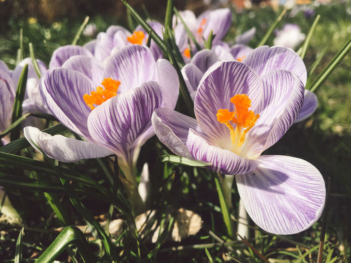 Beauty In Nature Close-up Crocus Day Field Flower Flower Head Flowering Plant Focus On Foreground Fragility Freshness Growth Inflorescence Iris Nature No People Petal Plant Pollen Purple Sunlight Vulnerability