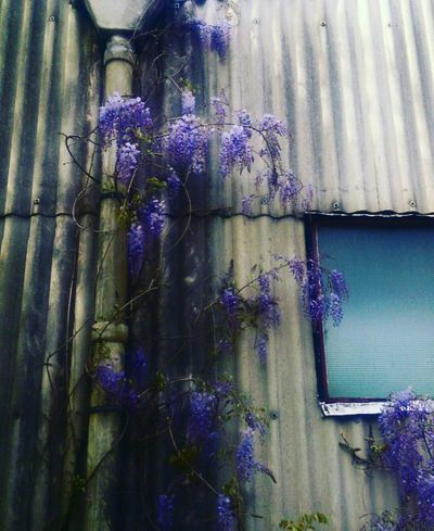 Beauty In Nature Outdoors Fragility Wisteria In Full Bloom