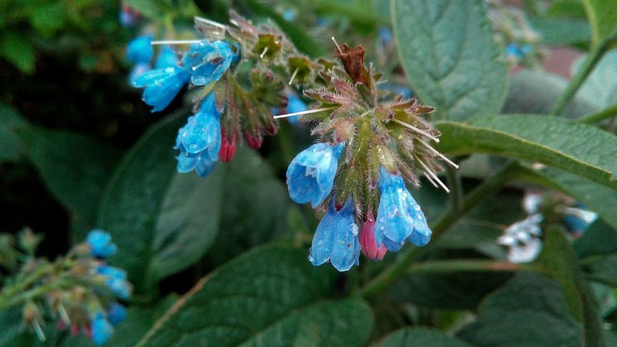 Close-up of comfrey blooming at park