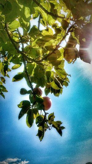 Doğa Apple Elma Sun Güneşışığı Gökyüzümavi