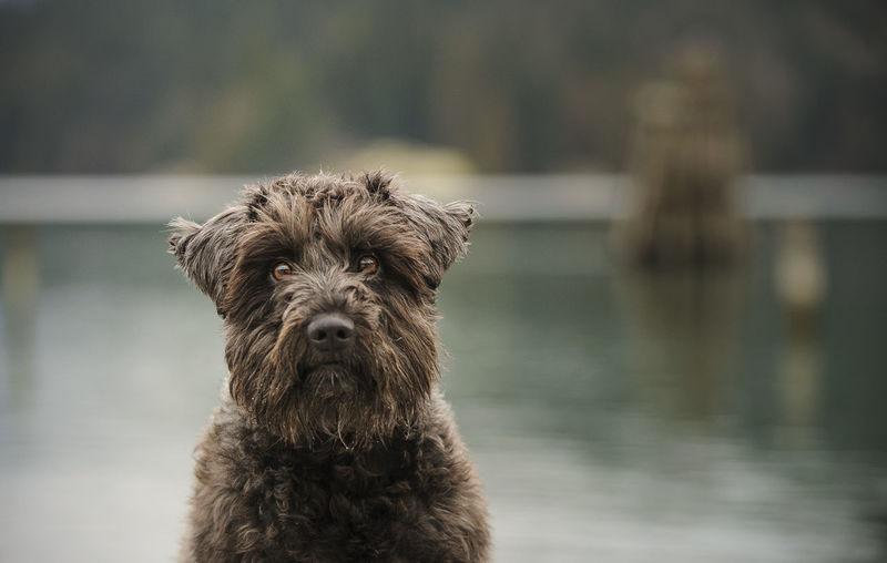 Portrait of miniature schnauzer against lake